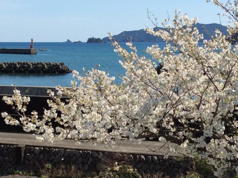 紀北町 桜